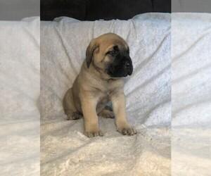 Mastiff Puppy for Sale in HAVILAND, Ohio USA