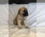 Puppy 7 Mastiff