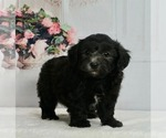Puppy 0 Maltipoo-Poodle (Toy) Mix