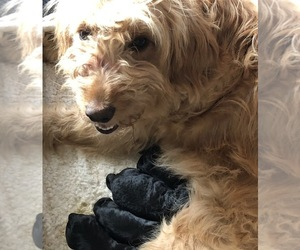 Mother of the Goldendoodle-Poodle (Standard) Mix puppies born on 03/27/2019