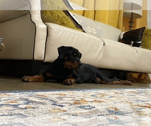 Rottweiler Puppy for sale in FORT WORTH, TX, USA
