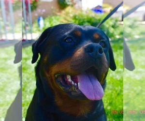 Mother of the Rottweiler puppies born on 08/04/2021