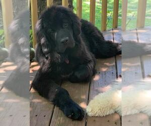 Mother of the Newfoundland puppies born on 02/21/2021