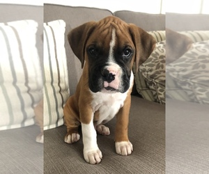 Boxer Puppy for sale in CHAMPION, OH, USA