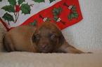 Chesapeake Bay Retriever puppies  HOME RAISED