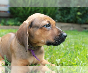 Rhodesian Ridgeback Puppy for Sale in BELLEVILLE, Illinois USA
