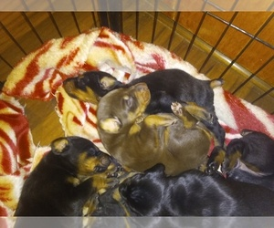 Doberman Pinscher Puppy for sale in PITTSBORO, NC, USA
