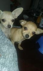 Chihuahua Puppy for sale in PONTE VEDRA BEACH, FL, USA