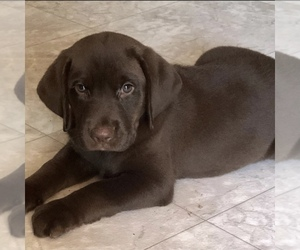 Labrador Retriever Puppy for sale in LANCASTER, SC, USA