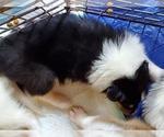Puppy 7 Collie
