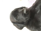 Labrador Retriever Puppy For Sale in LITITZ, PA