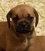 Puggle Puppy For Sale in SOUTH EASTON, MA