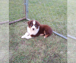Miniature Australian Shepherd Puppy for Sale in ORAN, Missouri USA