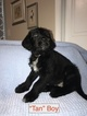 Goldendoodle Puppy For Sale in BUFORD, Georgia,