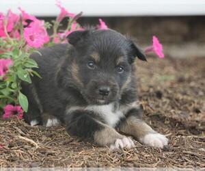 Aussiedoodle-Fox Terrier (Toy) Mix Dog for Adoption in FREDERICKSBG, Ohio USA