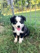 Miniature Australian Shepherd Puppy For Sale in MADISONVILLE, Texas,