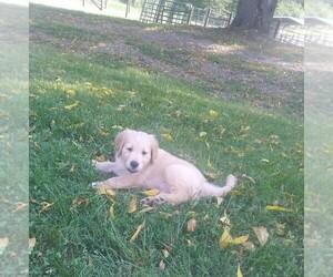 Golden Retriever Puppy for sale in FERRUM, VA, USA