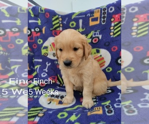 Golden Retriever Puppy for sale in COULEE CITY, WA, USA