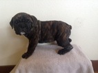 Olde English Bulldogge Puppy For Sale in BYERS, CO