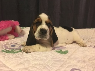 Basset Hound Puppy for sale in TAYLORS, SC, USA