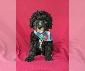 Old English Sheepdog-Poodle (Miniature) Mix Puppy for sale in GLEN ROCK, PA, USA