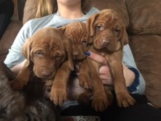 Vizsla Puppy For Sale near 51239, Hull, IA, USA