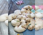Small #24 Labrador Retriever