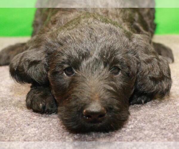 Medium Photo #7 Labradoodle Puppy For Sale in SHAWNEE, OK, USA