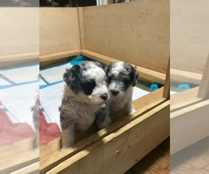 Aussie-Poo Puppy for sale in MBORO, TN, USA