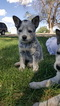 Australian Cattle Dog Puppy For Sale in DELTA, CO, USA
