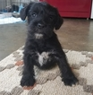 Schnoodle (Miniature) Puppy For Sale in CHESAPEAKE, VA, USA