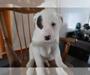 Australian Shepherd Puppy for sale in JACKSON, MI, USA