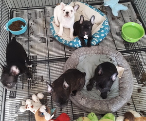 French Bulldog Puppy for sale in COFFEYVILLE, KS, USA