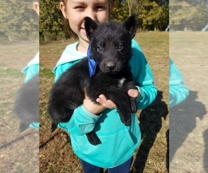 German Shepherd Dog Puppy for sale in BAYLE, IL, USA