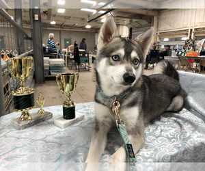 Father of the Alaskan Klee Kai puppies born on 08/01/2021