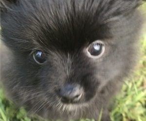 Pomeranian Puppy for Sale in GOSHEN, New York USA