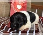 Puppy 9 Newfoundland