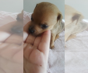 Chihuahua Puppy for sale in BROOKLYN HEIGHTS, OH, USA