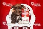 Schnauzer (Miniature) Puppy For Sale in SANGER, Texas,