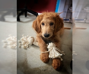 Goldendoodle Puppy for sale in BIG ROCK, IL, USA