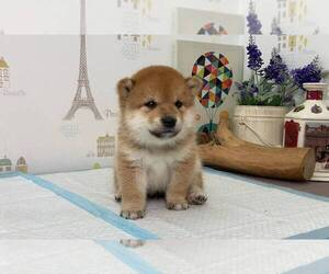 Shiba Inu Dog for Adoption in SUNNYVALE, California USA