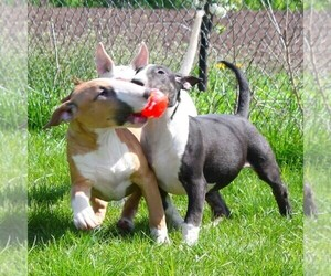 Bull Terrier Puppy for sale in BROOKLYN, NY, USA