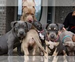 American Bully Puppy For Sale in CLARKSVILLE, TN, USA