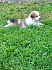 Australian Shepherd-Great Pyrenees Mix Puppy For Sale in LAKEVILLE, MN