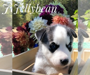 Siberian Husky Puppy for sale in VANCOUVER, WA, USA