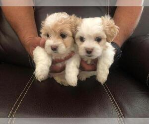 Maltipoo Dog for Adoption in HIALEAH, Florida USA