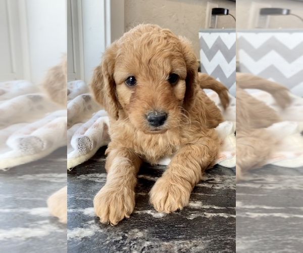 Medium Photo #1 Goldendoodle-Poodle (Miniature) Mix Puppy For Sale in RANDOLPH, WI, USA