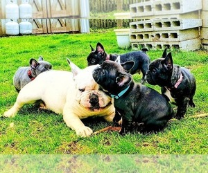Father of the French Bulldog puppies born on 03/23/2019