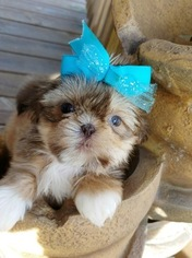 Shih Tzu Puppy for sale in CHILLICOTHE, OH, USA