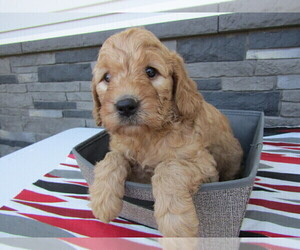Goldendoodle-Unknown Mix Puppy for sale in BLMGTN, IN, USA